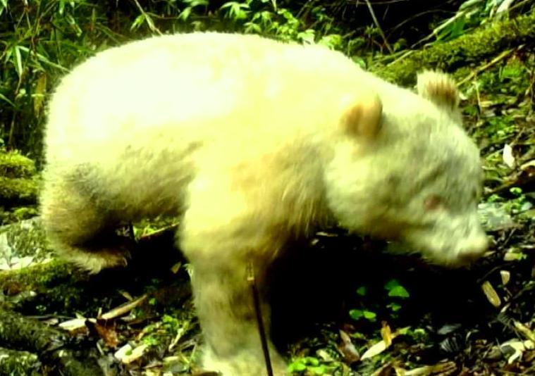 Albino Panda- The Hindu Current Affairs May 29
